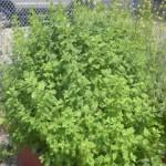 Frick Garden in June 3