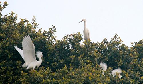 Egrets insert