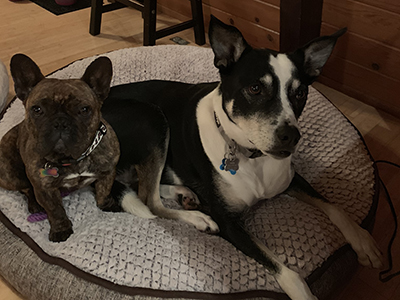 Frida, a Frenchie, was a rescue from Bejing, China. Oscar, a McNab mix, was rescued from the Sonoma Animal Shelter. (Margarita Parkin, BRC Analyst)