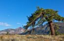 A Jeffrey pine bent by the wind crowns a hillside at Valentine Camp Reserve in the eastern Sierra.